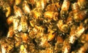 Как пчелы спят