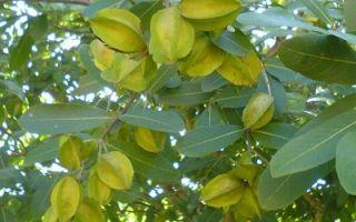 Лекарственные свойства дерева Терминалия Арджуна