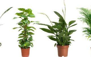 Некоторые распространенные комнатные растения очищающие воздух
