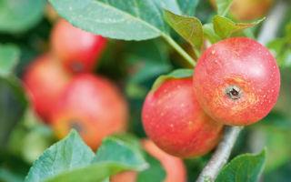 Яблоко и питание