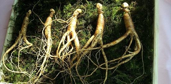 мандрагора растение