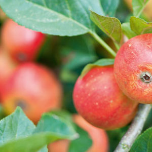 питание яблоками