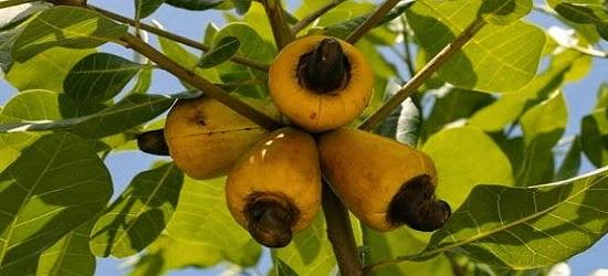 чем полезны орехи кешью для организма человека