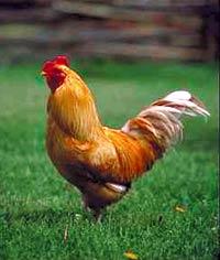 органическая курица