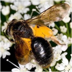 появление пчел
