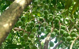 В каких странах растет орех макадамии
