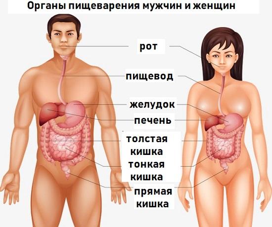 Особенности пищеварения полов