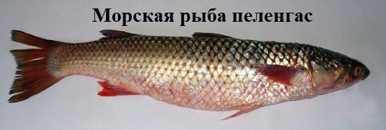 рыба пеленгас