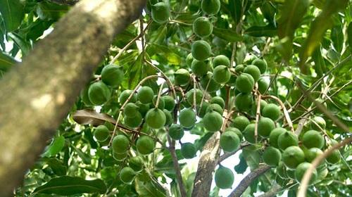 Деревья макадамии