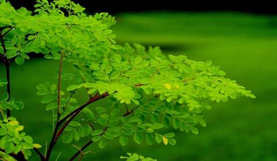 листья Моринги